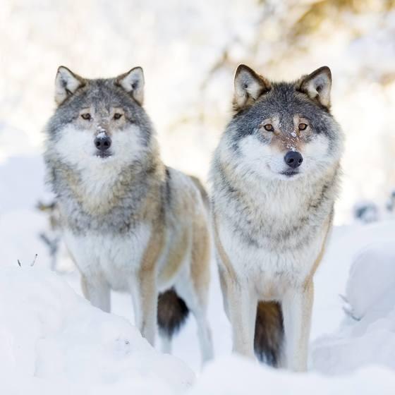 ulv langedrag